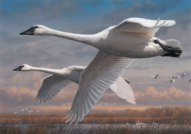 Trumpeter Swans, by Joseph Hautman, will appear on new Federal Duck Stamps.