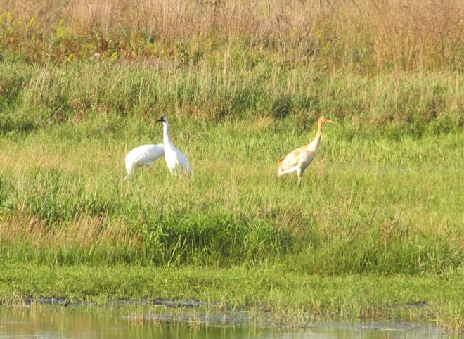 Adult Whoopers forage with a chick at Necedah National Wildlife Refuge in central Wisconsin in early September. Photo courtesy U.S. Fish and Wildlife Service