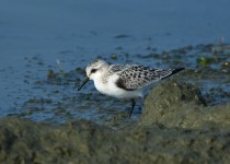 Winter-Plumage-Sanderling