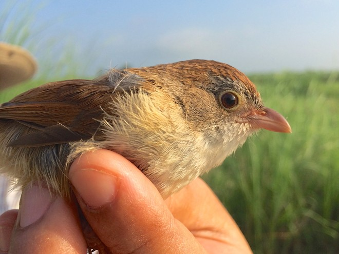 Jerdon's Babbler, rediscovered in 2014. Photo by Robert Tizard/Wildlife Conservation Society