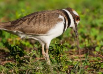 killdeer-2