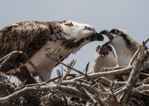 osprey_feeding