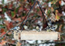 15-On-the-Tray-feeder-with-5-godlfinches-10-29-15