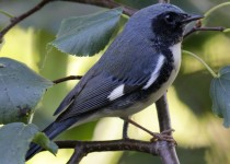 2-9E6A0426-Black-throated-Blue-Warbler-Montrose
