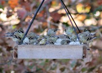 20-Seventeen-on-the-Tray-feeder-10-30-15