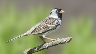Harris's Sparrow, garden