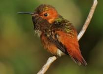 Allens-Hummingbird-7