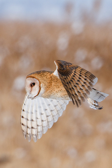 "Barn Owl in Utah, January 2013, by >a href=""http://www.birdwatchingdaily.com/blog/author/miam/"">miam."
