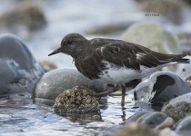 Black-Turnstone-4
