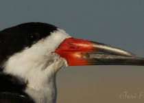 Black_Skimmer_Portrait