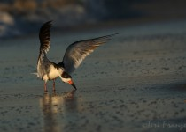 Black_Skimmer_Wingflap