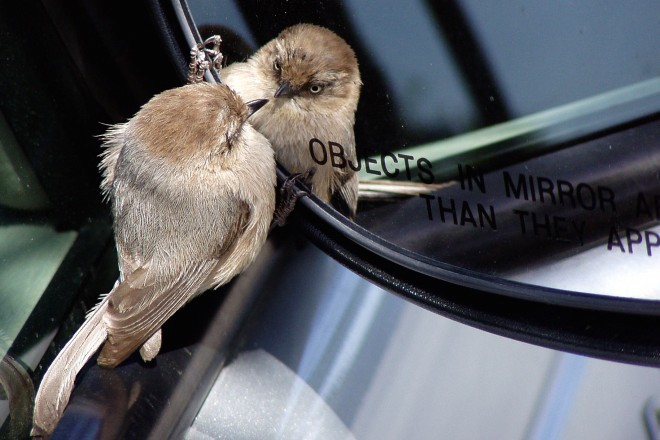 Bushtit in mirror_660x440