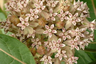 Common milkweed (Asclepias syriaca), by Tracy Ducasse (Wikimedia Commons).