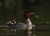 Common_Mergansers