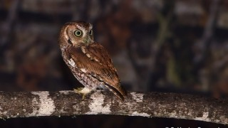 DSC0003-Eastern-Screech-Owl