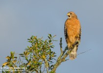 DSC0049-Red-shouldered-Hawk