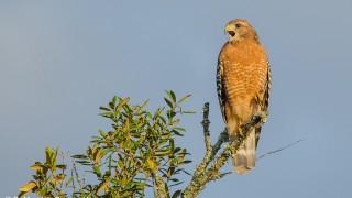 DSC0049-Red-shouldered-Hawk