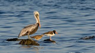 DSC0061-Pelican-Whimbrel-Oystercatcher