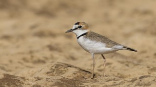Collared Plover, Encontro das Aquas State Park, Mato Grosso, Bra
