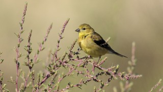 American Goldfinch, near Floral, Saskatchewan