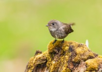 Dark-Sided-Flycatcher