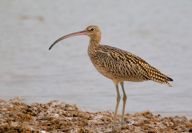 Far Eastern Curlew. Photo by Li Zai