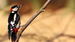 Great-Spotted-Woodpecker_660x440