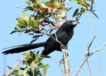 Grove-billed-Ani
