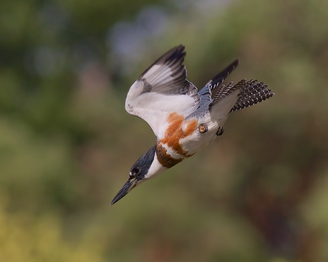 Belted Kingfisher (Megaceryle alcyon), Brookwood Marsh, Nanaimo, British Columbia, September 20, 2015, 10:15 a.m., by Dave Pley