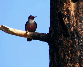 A Lewis's Woodpecker perches on a burned snag. Photo by Maya Khosla