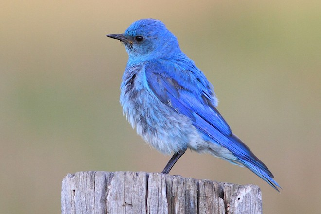 Open pipes in western states attract dozens of cavity-nesting species, including Mountain Bluebird. Photo by Greg Homel.