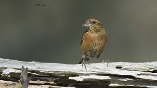 Red-Crossbill-3