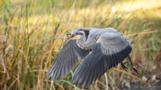Great Blue Heron ©2015 Jerry Rolwes