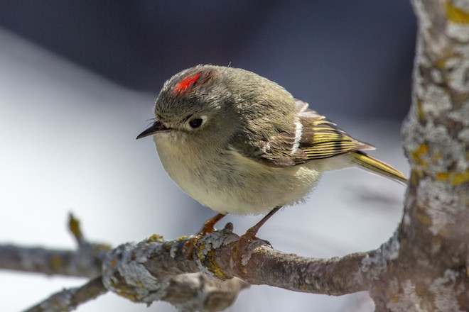 Tiny Ruby-crowned Kinglets are often found in spruce-fir forests. Photo by Laura Erickson.