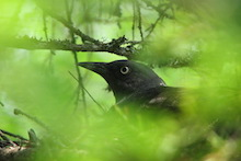 Rusty Blackbird, female, on nest. Photo by Shannon Buckley Luepold.