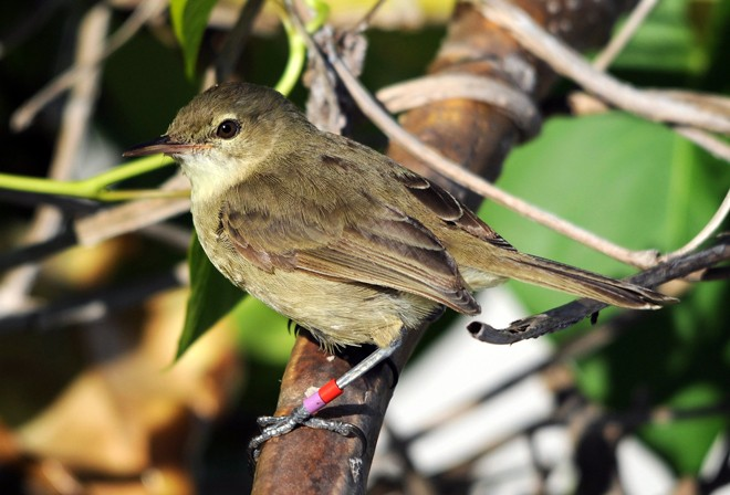Seychelles Warbler. Photo by Martijn Hammers