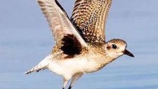 Shorebirds_320x200