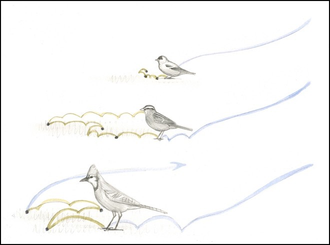 MAKING AN ENTRANCE: In these sketches of a goldfinch (top), sparrow (center), and Blue Jay (bottom), blue lines indicate flight paths and landing hops. Green lines show how the different birds typically move on the ground. Artwork by David Allen Sibley.