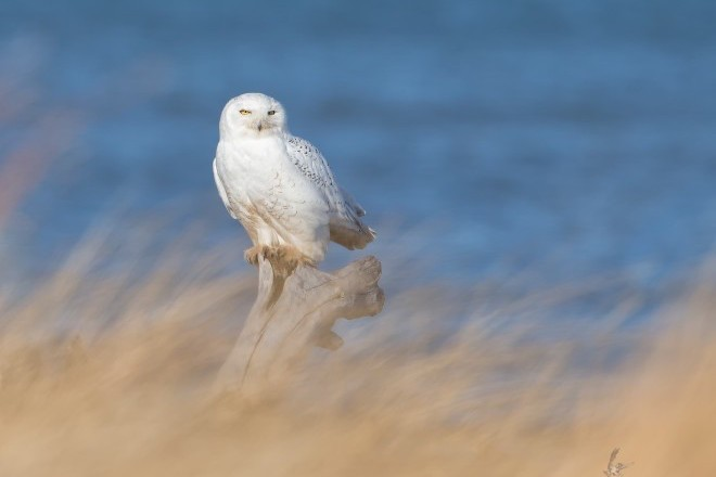 Snowy Owl at Presque Isle State Park, Pennsylvania, December 26, 2014, by Joshua Clark.