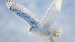 Thumbnail-Peterson-Owls