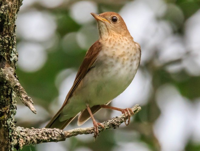 Veery in New York by rstrickland.
