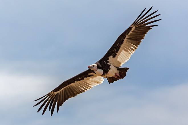 White-headed-Vulture_660x440
