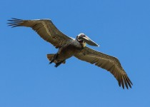 brown_pelican_in_flight-0042