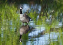 canada_goose_reflection-0039
