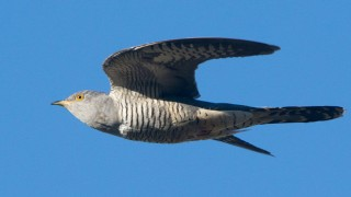 common-cuckoo-Yeliseev-660
