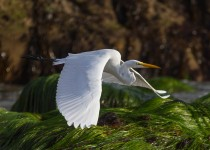great_egret-0593