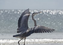 heron-strutting-resized