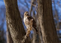 juvenile_red_tailed_hawk-0188