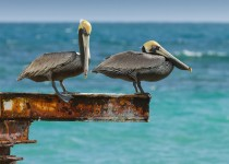 pelicans_balancing-0067
