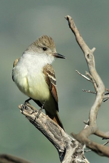 Ash-throated Flycatcher by vmiller.